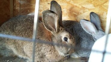 Грызуны - Кыргызстан: Кролики самцы 6-7мес