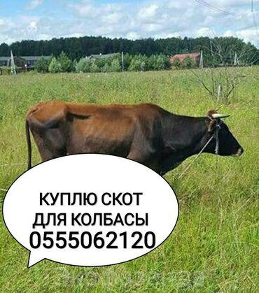 С/х животные в Кыргызстан: Принимаем скот на колбасный цех