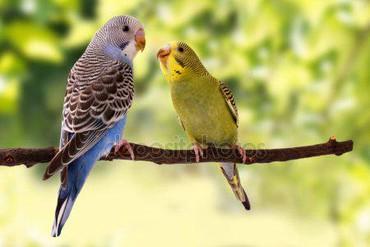 Волнистые попугаи в Бишкек