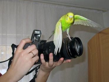Шкодные волнистые попугаи в Бишкек