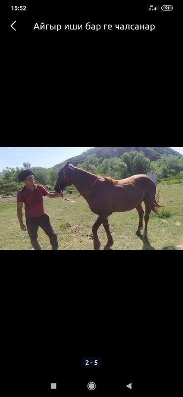аренда с последующим выкупом in Кыргызстан | TOYOTA: С/х животные