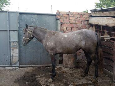 Животные - Студенческое: Продаются жирные лошади: кобылы, возраст 2, 4 и 8 лет; кунан-айгыры