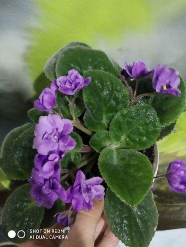 Комнатные растения - Беловодское: Фиалка 150 сом