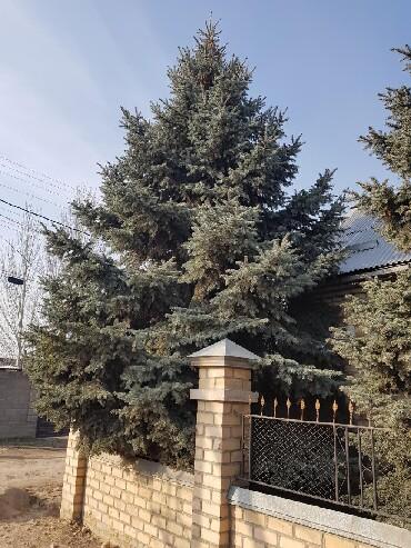 сибирский ель в Кыргызстан: Голубая ель