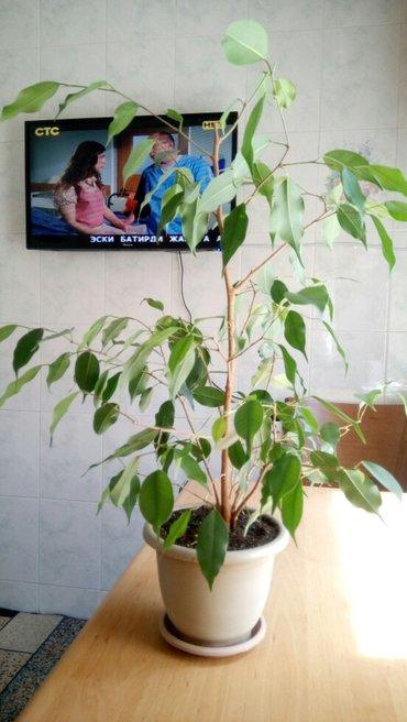 Фикус Бенжамина, взрослое растение, в Бишкек