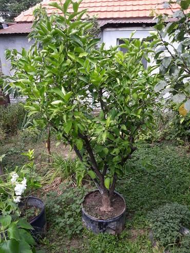Kućne biljke | Srbija: Prodajem drvo limuna visine oko 2 metra sa plodovima