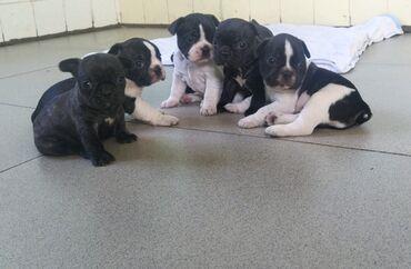 Продаются щенки французского бульдога. Остались для резервирования три