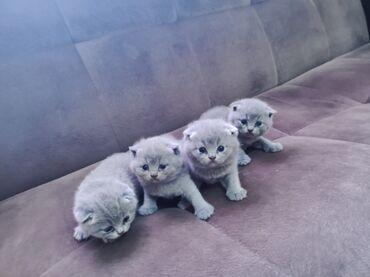 1346 elan | PIŞIKLƏR: Шотландские котята. Девочки и мальчики. 1 месяц. Фото родителей будут