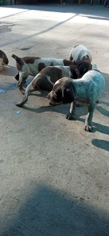 Животные - Кара-Балта: Щенята Драхтар чистые родители рабочие звонить на этот номер