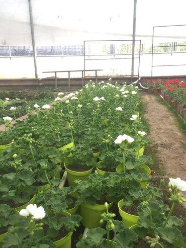 Продаю рассаду цветов герани(более 40 сортов),лобели