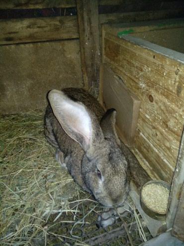 Продаётся кролик породы в Кок-Ой