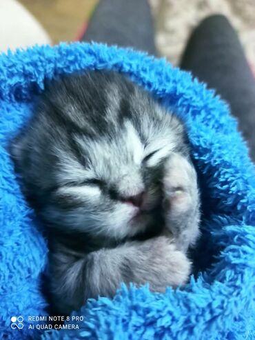 коврики для мыши sades в Кыргызстан: Открыта бронь на самых сладких малышат Шотландцы Хайленд фолд Хайленд