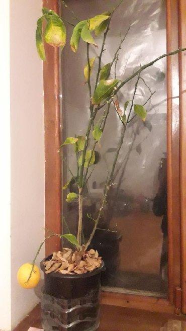 цветы купить в горшках в Кыргызстан: Продаю ЛИМОНЫ 4г., готовые к плодоношению. Сорт Ташкент F 1