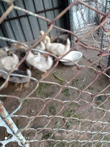 Животные - Луговое: Продаю срочно гусят. выведены 5 июня