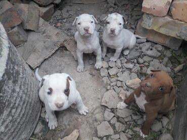 Продаю щенки питбуля девочки 1,5 месяцев самостоятельные осталось 2