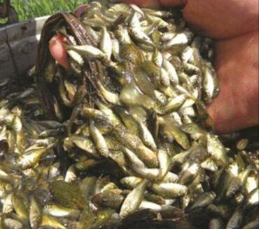 рыбы в Кыргызстан: Изчезающи виды рыбы маринки. малёк маринки