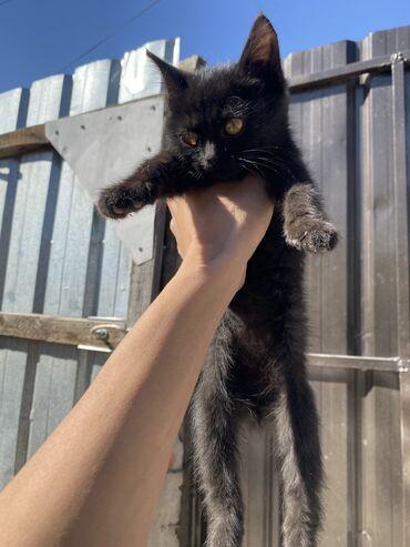 9677 объявлений: Красивый черный котенок с желтыми глазками ищет любящих хозяев. Отдам