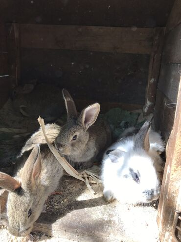 Животные - Кыргызстан: Продаю кроликов, им пошёл второй месяц. Живем в Беловодске