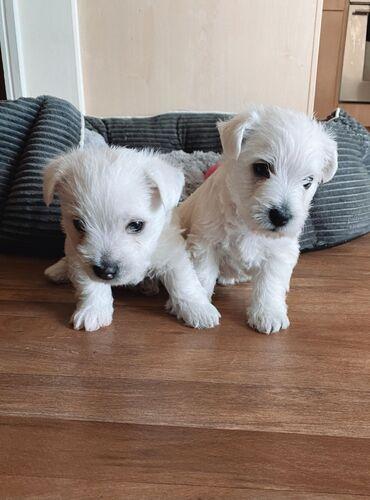 Πωλούνται κουτάβια West Highland TerrierΚουτάβια West Highland Terrier