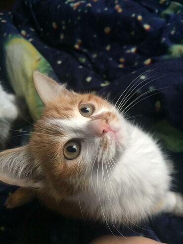 лоток для кошек бишкек in Кыргызстан | ЗООТОВАРЫ: Отдадим котят мальчики 1.5 месяца в добрые руки, к лотку приучены!
