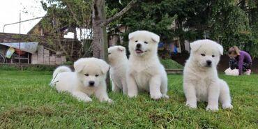 Πώληση κουτάβια AkitaΤα κουτάβια Akita Έτοιμα προς πώληση 11 εβδομάδων