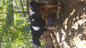 - Azərbaycan: Cins inekler tecili satilir.qiymet razilasma yolu ile