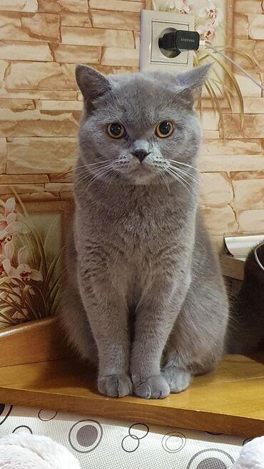 Потерялся кот, в ясамальском районе около Бизим маркета! Пожалуйста