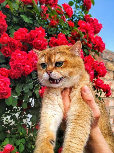 Вязка!!! кот на вязку. шикарный кот шоу класса. редкого, элитного