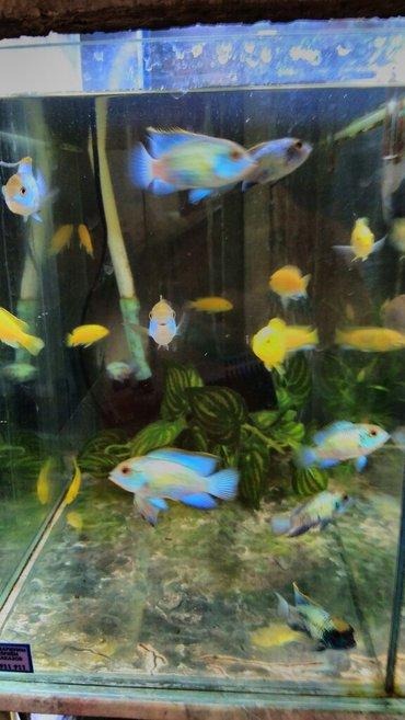 Нанокары. аквариумные рыбки в Бишкек - фото 2