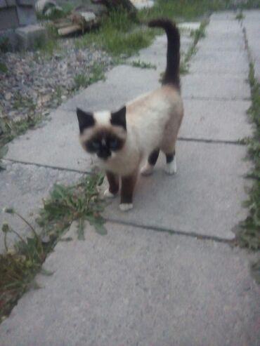 Животные - Ала-Тоо: Кошка сеамский