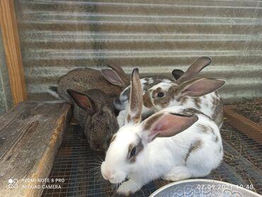 9 объявлений | ЖИВОТНЫЕ: Продаются кролики, 2 месяца порода (шиншылка)