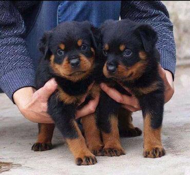 Rottweiler. κουτάβια έτοιμα προς πώληση. Είναι καλά εκπαιδευμένα και