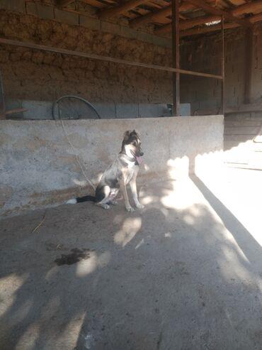 Собаки - Базар-Коргон: Авчарка эркек сатылат
