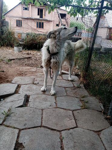 Животные - Бактуу-Долоноту: Собака 1год чистая ухоженный