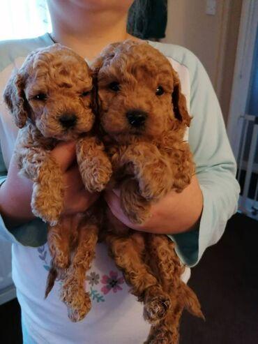 Πώληση κουτάβια παιχνιδιών PoodleToy Poodle κουτάβια αρσενικά και