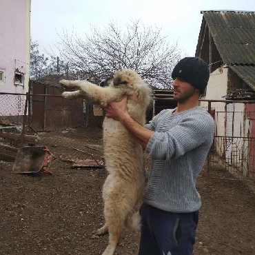 tuklu itler - Azərbaycan: 4 ayliq disi kucukdu qusarin tuklu coban itlerinendi
