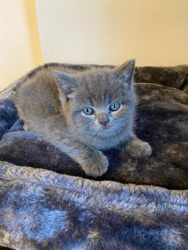 Βρετανικά γατάκια Shorthair προς πώλησηΤα βρετανικά γατάκια Shorthair