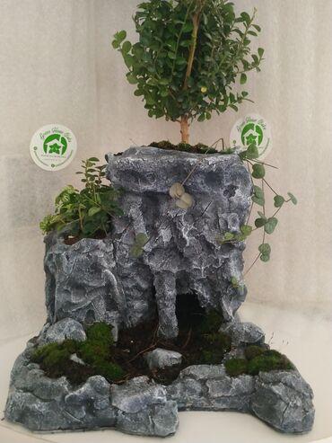 Bitkilər üçün dibçəklər - Azərbaycan: Живая гора.Декор 2.Растение:Мирсина африканская,фитония, Церопегия