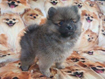 Πωλούνται υπέροχα κουτάβια Pomeranian. Έτοιμοι να πάνε τώρα. Αν
