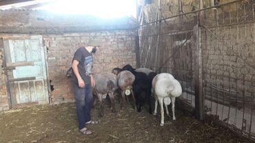 животный-с в Кыргызстан: Гисарский порода семиз кочкорлор сатылат