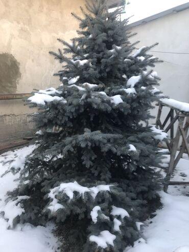 сибирский ель в Кыргызстан: Продается голубая ель 3 метра очень густая 8 лет