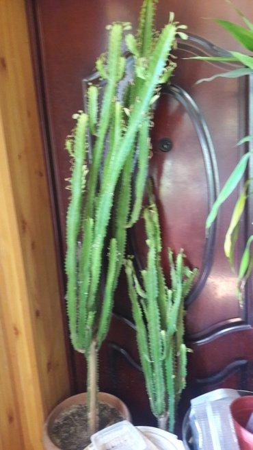 Продаю комнатные растения  в Бишкек