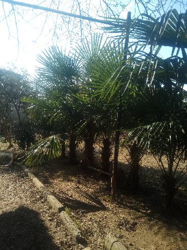 Ev və bağ Masallıda: Salam palma aqaci satiram istenilen olcude istenilen qiymetde