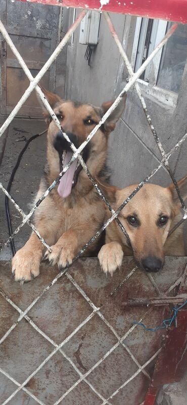 самый дешевый корм для собак в Кыргызстан: Собаки