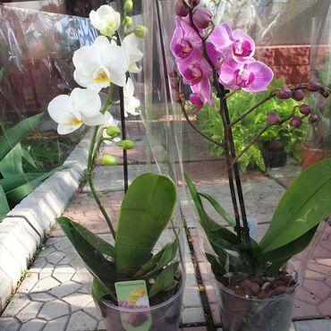 букет невесты в Кыргызстан: Орхидея! Орхидеи! Орхидея фаленопсис, 55см Есть другие цвета Цена сама