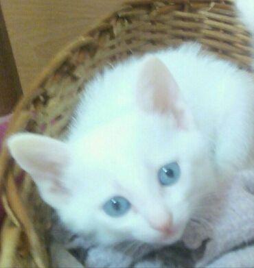 вислоухий шотландец котенок в Азербайджан: Продается котенок Ангоры шерстка средней длины,не линяет, мальчик, 3