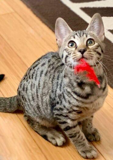 Εκπληκτικά αρσενικά και θηλυκά γατάκια σαβάναςΓατάκια πλήρους