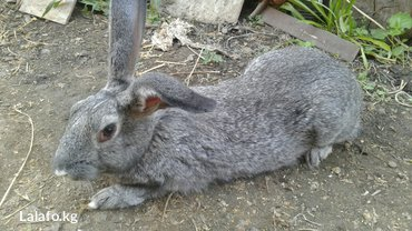 Продаю кроликов! Самки породы фландер/серый великан. Цена 1200сом. в Лебединовка