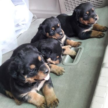 Продаются щенки ротвейлера,родились 8 апреля все девочки