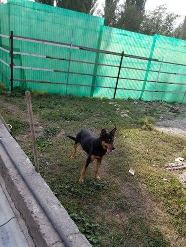 holodilnikov na dom в Кыргызстан: Срочно продаю азиатскую овчарку